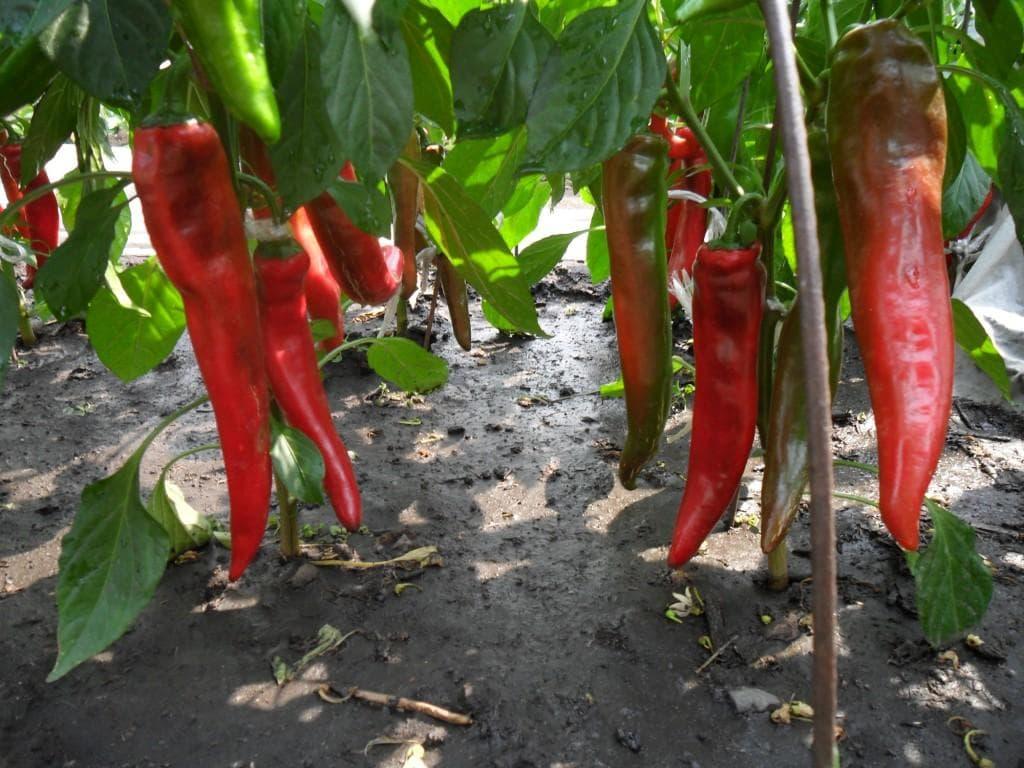 как прорастить семена горького перца