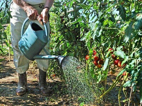 как часто поливать рассаду цирконом
