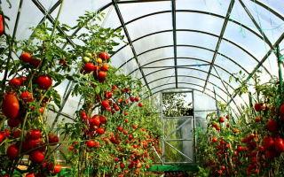 Особенности выращивания томатов в теплице из поликарбоната