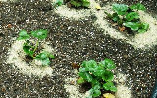 Когда сажать землянику и клубнику на рассаду в 2018 году: работаем по правилам