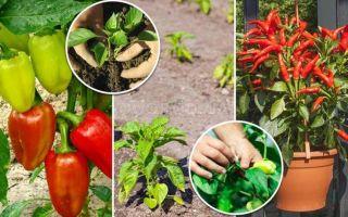 Особенности выращивания перца в домашних условиях