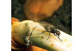Луковая муха: чем опасен вредитель и как с ним бороться