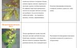 Почему листья у помидоров желтеют: определение и устранение основных причин