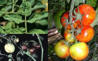 Наиболее опасные болезни помидоров