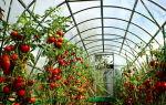 Технология ухода за помидорами в теплице из поликарбоната