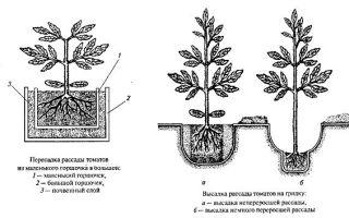 Каким образом и когда высаживать рассаду помидоров в открытый грунт