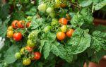Сорт помидоров «балконное чудо»