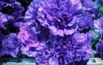 Как правильно выращивать синие гвоздики?