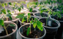 Как вырастить здоровую рассаду помидоров