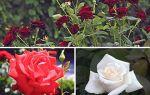 Выращиваем чайно-гибридные розы по всем правилам