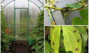 Как вывести муравьев из теплицы с огурцами быстро, эффективно и безопасно?