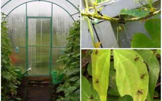 Почему скручиваются листья у растущих в теплице помидоров