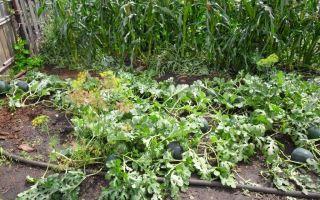 Технология выращивания арбузов в подмосковье