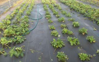 Особенности посадки клубники на агроволокно