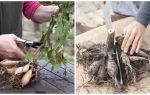 Как правильно проводить черенкование георгин весной?
