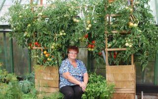 Технология выращивания зеленых помидоров в бочке