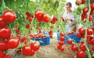 Как выбрать помидоры для теплицы