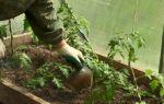 Как проводить подкормку помидоров в теплице и открытом грунте