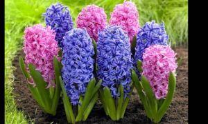 Гиацинт – это цветок многолетний или однолетний?