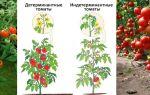 Особенности детерминантных сортов томатов