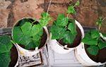 Как осуществляется выращивание огурцов в ведре?