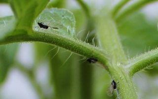 Черные и белые мошки на помидорах: как избавиться от вредителей
