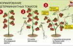 Как формировать томаты в теплице: сроки, схемы и правила