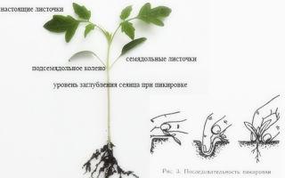 Рассада помидоров плохо растет после пикировки: основные причины проблемы и способы реанимации саженцев