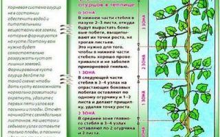 Правила и советы по посадке огурцов в августе в теплице