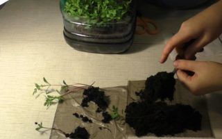 Посев и пикировка бархатцев: пошаговая фото-инструкция