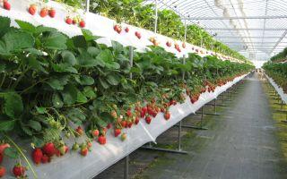 Какие теплицы лучше использовать для выращивания клубники круглый год?