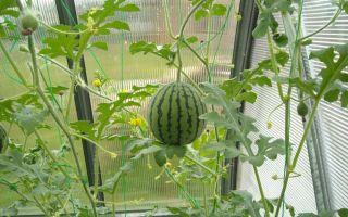 Особенности выращивания арбузов на урале в тепличных условиях