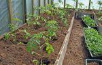 Когда и как следует высаживать помидоры в теплицу в подмосковье