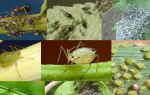 Основные методы борьбы с тлей на растениях