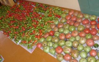 Как осуществляют хранение зеленых помидор