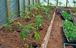 Подготовка и высадка томатов в теплицу из поликарбоната