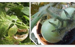 Как можно бороться с паутинным клещом на помидорах