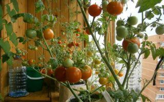 Как осуществляют выращивание помидоров на балконе