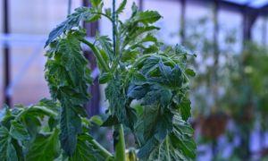 Почему у помидоров закручиваются верхние листья?