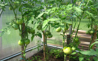 Что нужно делать в период цветения помидоров в теплице