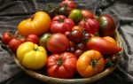 Разнообразие сортов помидоров для теплиц