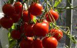 Как вырастить помидоры красная гвардия