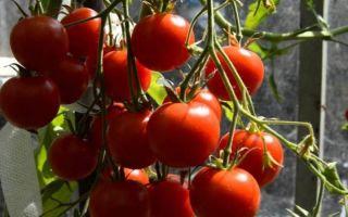 Как организовать полив помидоров бутылками