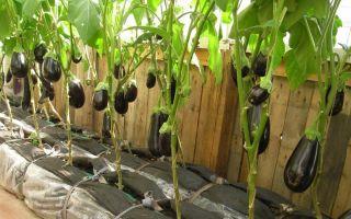 Можно ли выращивать баклажаны на урале в теплице?