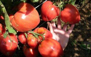 Томат сорта чудо земли: характеристика и советы по выращиванию