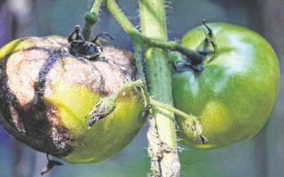 Фитофтора на помидорах: как своевременно распознать недуг и чем обрабатывать для эффективного лечения