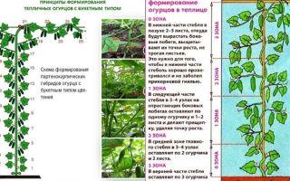 Как и зачем обрезать листья огурцов в теплице