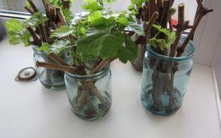 Технология и секреты размножения винограда черенками