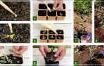 Эустома: особенности посадки и выращивания