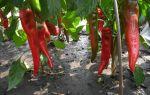 Как правильно выращивать горький перец?